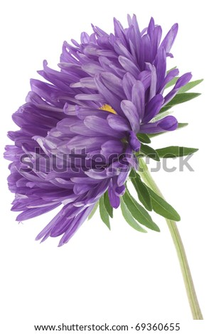 Studio Shot of Blue and Violet Colored China Aster Isolated on White Background. Large Depth of Field (DOF). Macro. Symbol of Jealosy. - stock photo