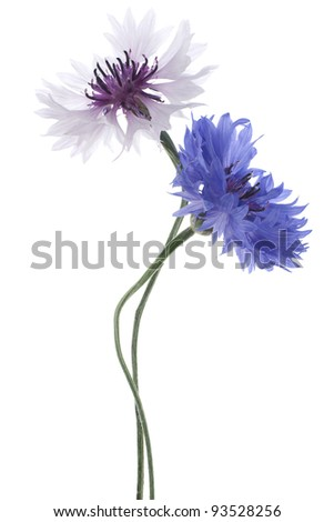 Studio Shot of Blue and White Colored Cornflowers Isolated on White Background. Large Depth of Field (DOF). Macro. National Flower of Belarus, Estonia and Germany. - stock photo