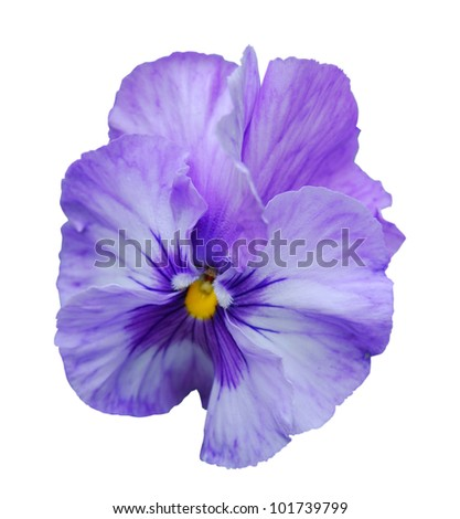 Studio Shot of Blue and White Colored Pansy Isolated on White Background.