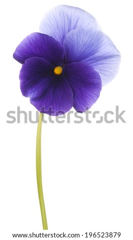 Studio Shot of Blue Colored Pansy Flower Isolated on White Background. Large Depth of Field (DOF). Macro. Symbol of Fun and Reminiscence. - stock photo