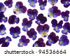 Studio Shot of Blue Colored Pansy Flowers Background. Large Depth of Field (DOF). Macro. Symbol of Fun and Reminiscence. - stock photo