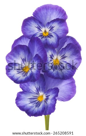 Studio Shot of Blue Colored Pansy Flowers Isolated on White Background. Large Depth of Field (DOF). Macro. Symbol of Fun and Reminiscence. - stock photo