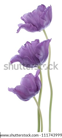 Studio Shot of Blue Colored Tulip Flowers Isolated on White Background. Large Depth of Field (DOF). Macro. National Flower of The Netherlands, Turkey and Hungary. - stock photo