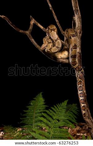 Studio shot of boa snake sitting on branch, not isolated. - stock photo
