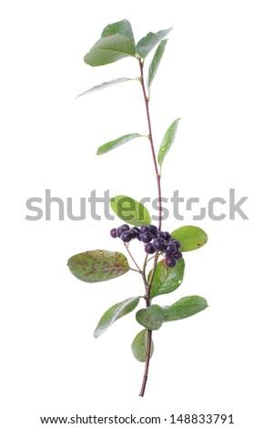 studio shot of chokberries twig isolated on white background - stock photo