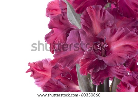 Studio Shot of Claret and Red Colored Gladiolus Isolated on White Background. Large Depth of Field (DOF). Macro. Symbol of Reminisce, Love and Precision. - stock photo