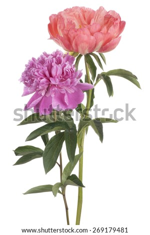 Studio Shot of Fuchsia and Pink Colored Peony Flowers Isolated on White Background. Large Depth of Field (DOF). Macro. - stock photo
