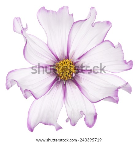 Studio Shot of Fuchsia and White Colored Cosmos Flower Isolated on White Background. Large Depth of Field (DOF). Macro. - stock photo