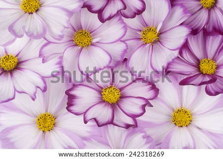 Studio Shot of Fuchsia and White Colored Cosmos Flowers Backgrounds.  - stock photo