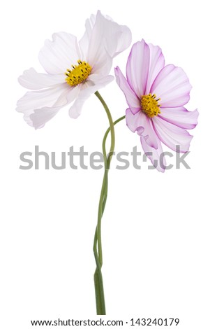Studio Shot of Fuchsia and White Colored Cosmos Flowers Isolated on White Background. Large Depth of Field (DOF). Macro.