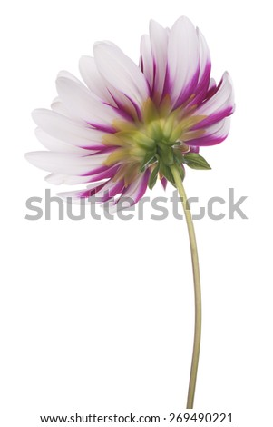 Studio Shot of Fuchsia and White Colored Dahlia Flower Isolated on White Background. Large Depth of Field (DOF). Macro. Symbol of Elegance, Dignity and Good Taste. - stock photo