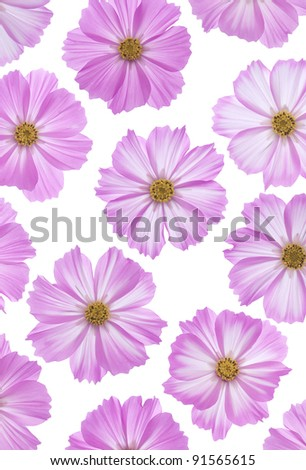 Studio Shot of Fuchsia Colored Cosmos Flowers Isolated on White Background. Large Depth of Field (DOF). Macro. - stock photo