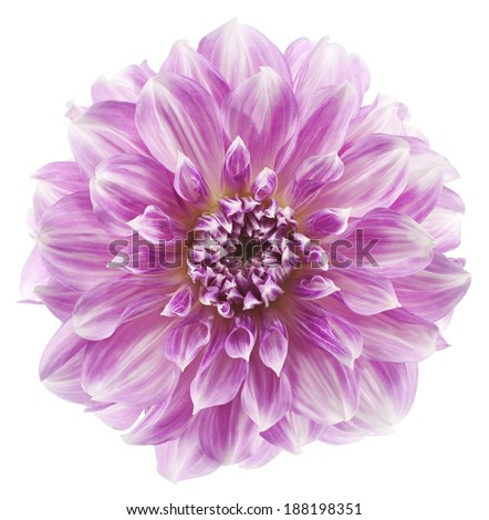 Studio Shot of Fuchsia Colored Dahlia Flower Isolated on White Background. Large Depth of Field (DOF). Macro. Symbol of Elegance, Dignity and Good Taste.