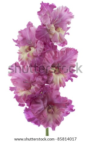 Studio Shot of Fuchsia Colored Gladiolus Isolated on White Background. Large Depth of Field (DOF). Macro. Symbol of Reminisce, Love and Precision. - stock photo