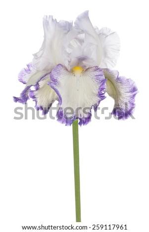 Studio Shot of Fuchsia Colored Iris Flower Isolated on White Background. Large Depth of Field (DOF). Macro. Symbol of Trust and Wisdom. Emblem of France. - stock photo
