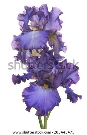 Studio Shot of Fuchsia Colored Iris Flowers Isolated on White Background. Large Depth of Field (DOF). Macro. Symbol of Trust and Wisdom. Emblem of France. - stock photo