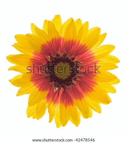 Studio Shot of Gaillardia Isolated on White Background.