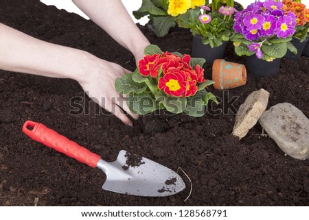 studio shot of gardeners hands planting primroses in flower soil, isolated on a white background. - stock photo