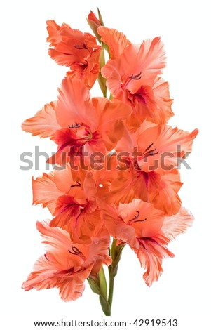 Studio Shot of Gladiolus Isolated on White Background. - stock photo