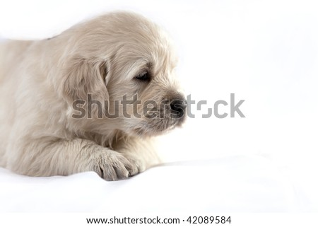Studio shot of golden retriever baby isolated on white