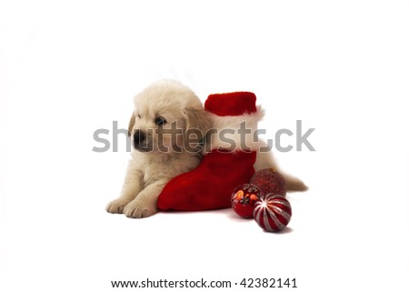 Studio shot of golden retriever baby with christmas toys - stock photo