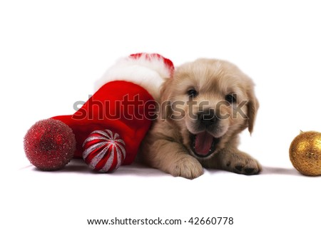 Studio shot of golden retriever baby with christmas toys an red santa's sock - stock photo