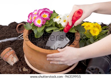 studio-shot of hands planting flowers in a terracotta flowerpot, isolated on white. - stock photo