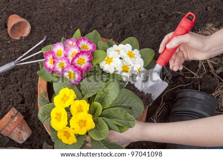 studio-shot of hands plating spring flowers in a terracotta flowerpot. - stock photo