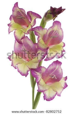 Studio Shot of  Lilac and Yellow Colored Gladiolus  Isolated on White Background. Large Depth of Field (DOF). Macro. Symbol of Reminisce, Love and Precision. - stock photo