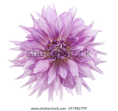 Studio Shot of Lilac Colored Dahlia Flower Isolated on White Background. Large Depth of Field (DOF). Macro. Symbol of Elegance, Dignity and Good Taste. - stock photo