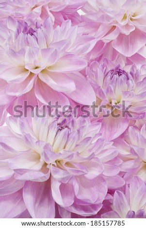 Studio Shot of Lilac Colored Dahlia Flowers Background. Large Depth of Field (DOF). Macro. Symbol of Elegance, Dignity and Good Taste. - stock photo