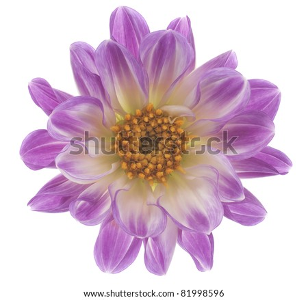 Studio Shot of  Lilac Colored Dahlia  Isolated on White Background. Large Depth of Field (DOF). Macro. Symbol of Elegance, Dignity and Good Taste.