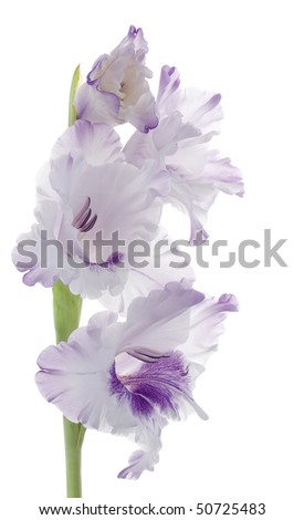 Studio Shot of Liliac and Plum Colored Gladiolus Isolated on White Background. Large Depth of Field (DOF). - stock photo