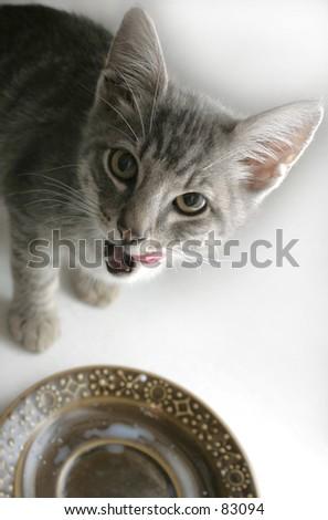 Studio Shot of Little Tabby Kitten Eating - stock photo