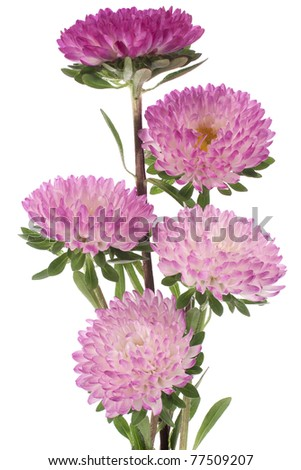 Studio Shot of  Magenta and White Colored China Aster Isolated on White Background. Large Depth of Field (DOF). Macro. Symbol of Jealosy. - stock photo