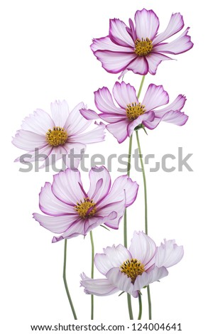 Studio Shot of Magenta and White Colored Cosmos Flowers Isolated on White Background. Large Depth of Field (DOF). Macro. - stock photo