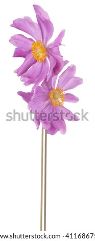 Studio Shot of Magenta Colored Anemone Flowers Isolated on White Background. Large Depth of Field (DOF). Macro.