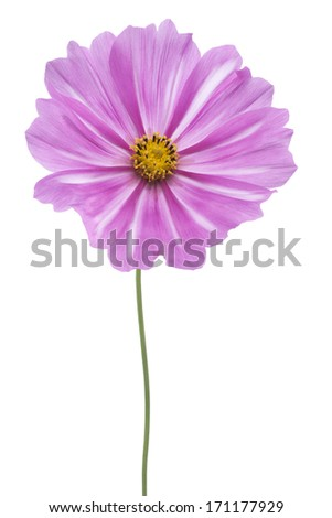 Studio Shot of Magenta Colored Cosmos Flower Isolated on White Background. Large Depth of Field (DOF). Macro.