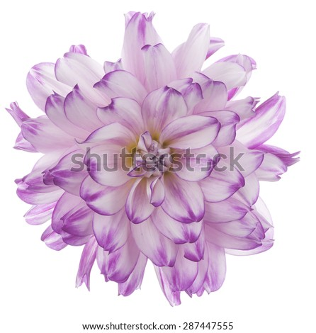 Studio Shot of Magenta Colored Dahlia Flower Isolated on White Background. Large Depth of Field (DOF). Macro. Symbol of Elegance, Dignity and Good Taste. - stock photo