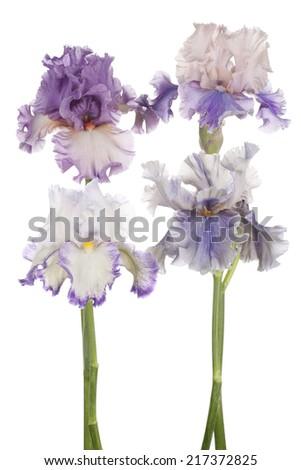 Studio Shot of Magenta Colored Iris Flowers Isolated on White Background. Large Depth of Field (DOF). Macro. Emblem of France. - stock photo