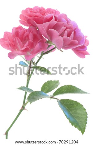 Studio Shot of Magenta Colored Rose Isolated on White Background. Large Depth of Field (DOF). Macro. - stock photo