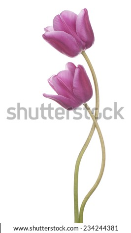 Studio Shot of Magenta Colored Tulip Flowers Isolated on White Background. Large Depth of Field (DOF). Macro. National Flower of The Netherlands, Turkey and Hungary. - stock photo