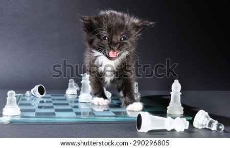 Studio shot of meowing small black kitten on glass chess board with scattered pieces. - stock photo