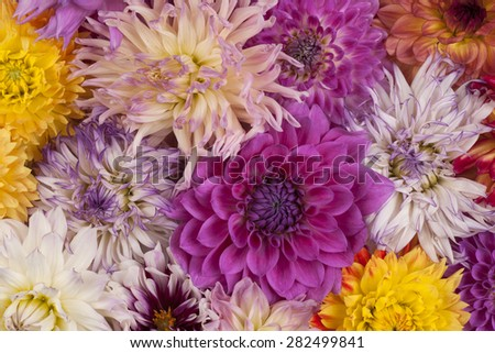 Studio Shot of Multicolored Dahlia Flowers Background. Macro. Symbol of Elegance, Dignity and Good Taste. - stock photo