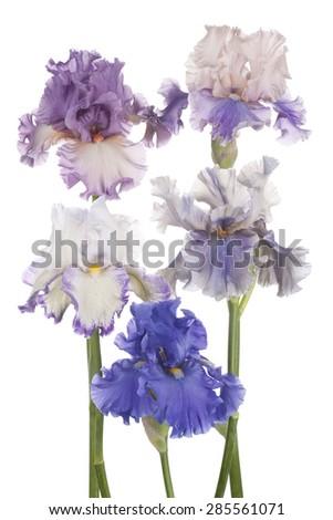 Studio Shot of Multicolored Iris Flowers Isolated on White Background. Large Depth of Field (DOF). Macro. Symbol of Trust and Wisdom. Emblem of France. - stock photo