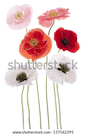 Studio Shot of Multicolored Poppy Flowers Isolated on White Background. Large Depth of Field (DOF). Macro. Symbol of Sleep, Oblivion and Imagination.