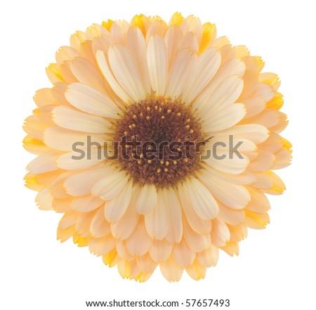 Studio Shot of Orange and Cream Colored Marigold Isolated on White Background. Large Depth of Field (DOF). Macro. - stock photo