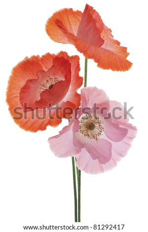 Studio Shot of  Orange and Pink Colored Poppies  Isolated on White Background. Large Depth of Field (DOF). Macro. Symbol of Sleep, Oblivion and Imagination. - stock photo