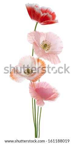 Studio Shot of Orange and Pink Colored Poppy Flowers Isolated on White Background. Large Depth of Field (DOF). Macro. Symbol of Sleep, Oblivion and Imagination. - stock photo