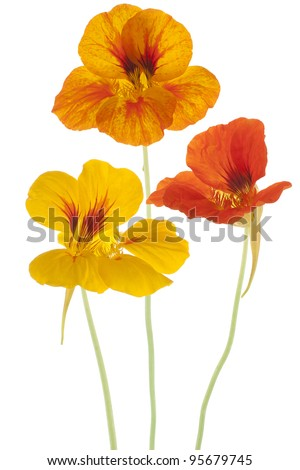 Studio Shot of Orange and Yellow Colored Nasturtium Flowers  Isolated on White Background. Large Depth of Field (DOF). Macro. Symbol of Patriotism and Conquest. - stock photo